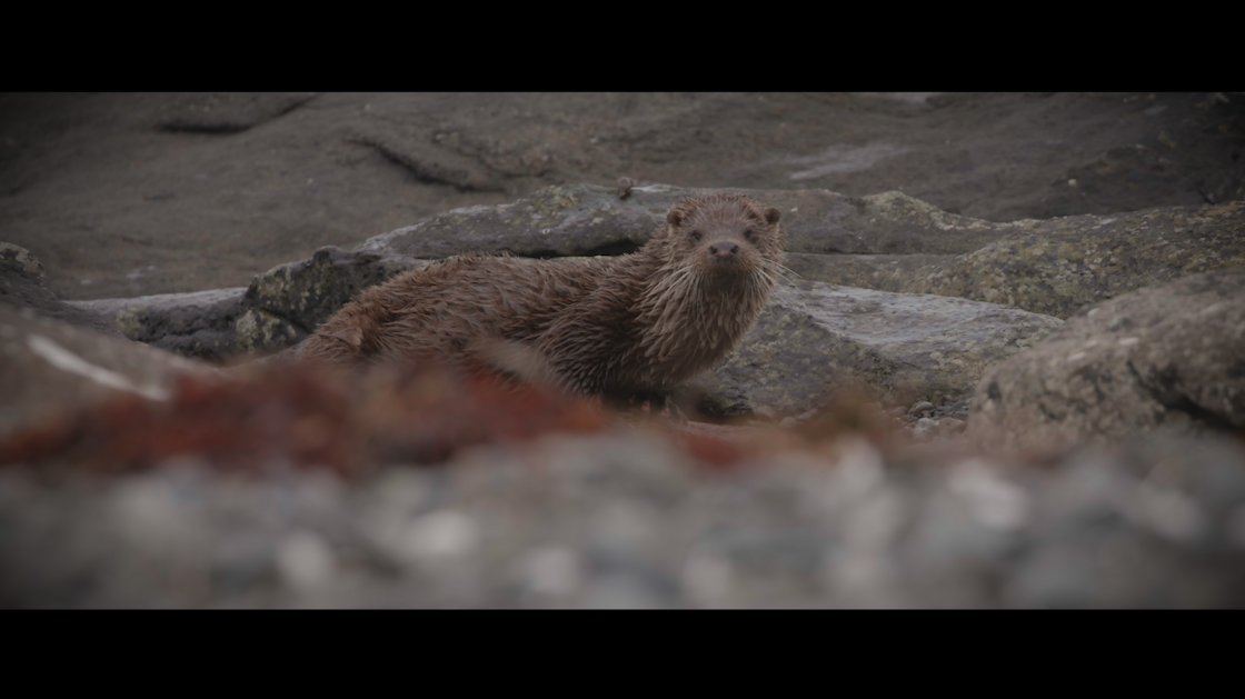 a screengrab of one of the otters we filmed on Mull