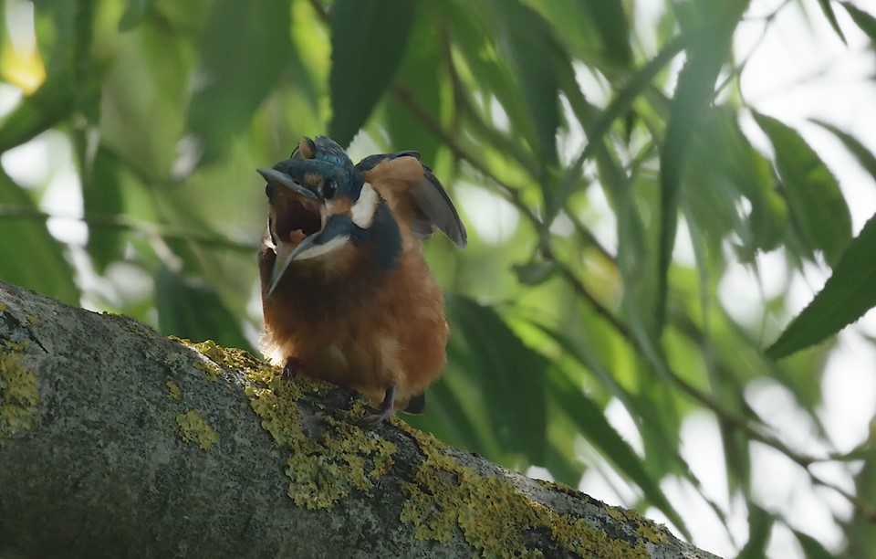 learning how to film kingfishers