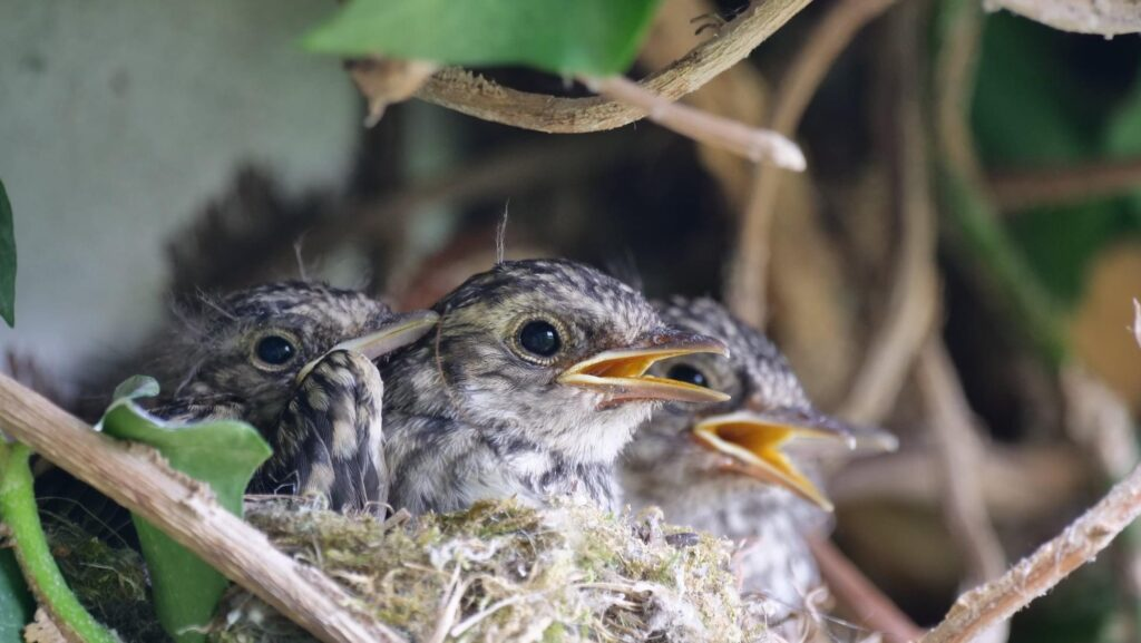 Spotted Flycatcher chicks on the Somerset Levels